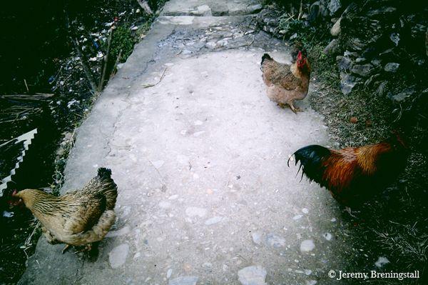 ThreechickensWB