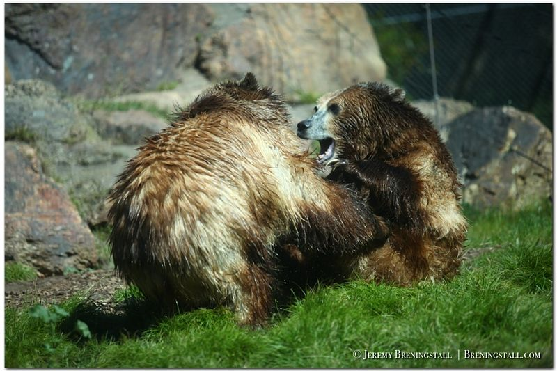 San-francisco-zoo-01-grizzly-bears-wrestling